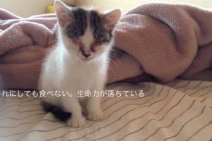 結膜炎で目の潰れた仔猫が美人になるまでの一ヶ月の記録